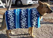 Comet, a german shepard dog, standing for dog shirt fitting.