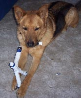 German Shepard playing with dog toy.