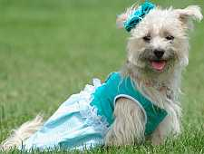 Aqua colored dog dress on a Westie dog.
