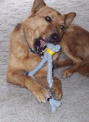 Dog playing with exercise toy