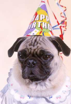 Pug in a dog party hat