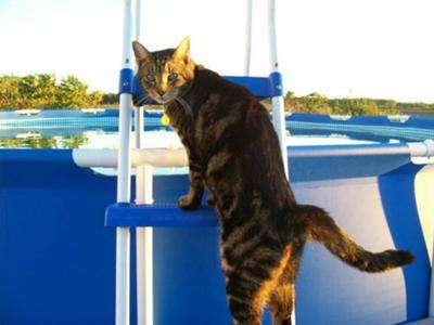 A cat climbing the pool steps. Going to need a bath from getting sprayed by skunk.