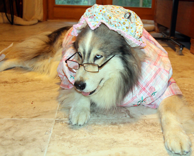 Another picture of dog dressed up in the Grandma costume from the big bad wolf.