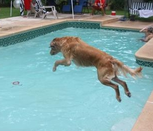 A dog jumping into a pool