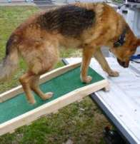 Dog using a ramp to get into back of truck.