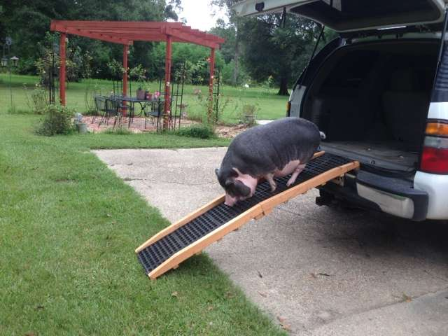 Potbelly pig using a ramp to get in the back of a vehicle.