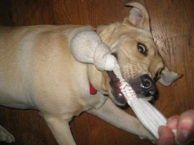 Bailey enjoying tug-of-war with a basic ball sock toy