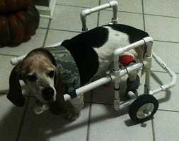 beagle using a dog wheelchair