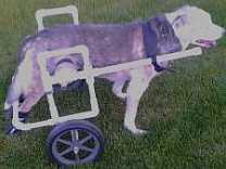medium sized dog using dog wheelchair.