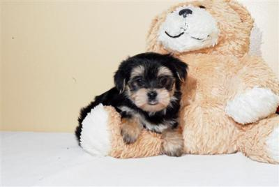 A puppy cuddled up with a teddy bear