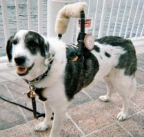 A picture of Patches a Pyrennees service dog for alerting of impending loss of balance and seizures.