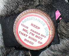 A picture of a service dog wearing a button that says to keep hands off the dog.